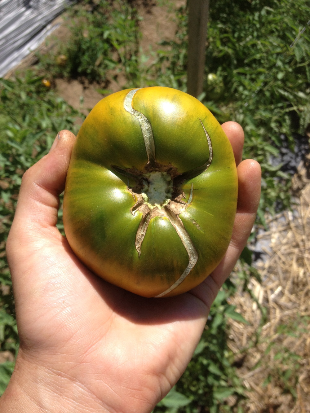 Cracking on a Cherokee Green tomato.