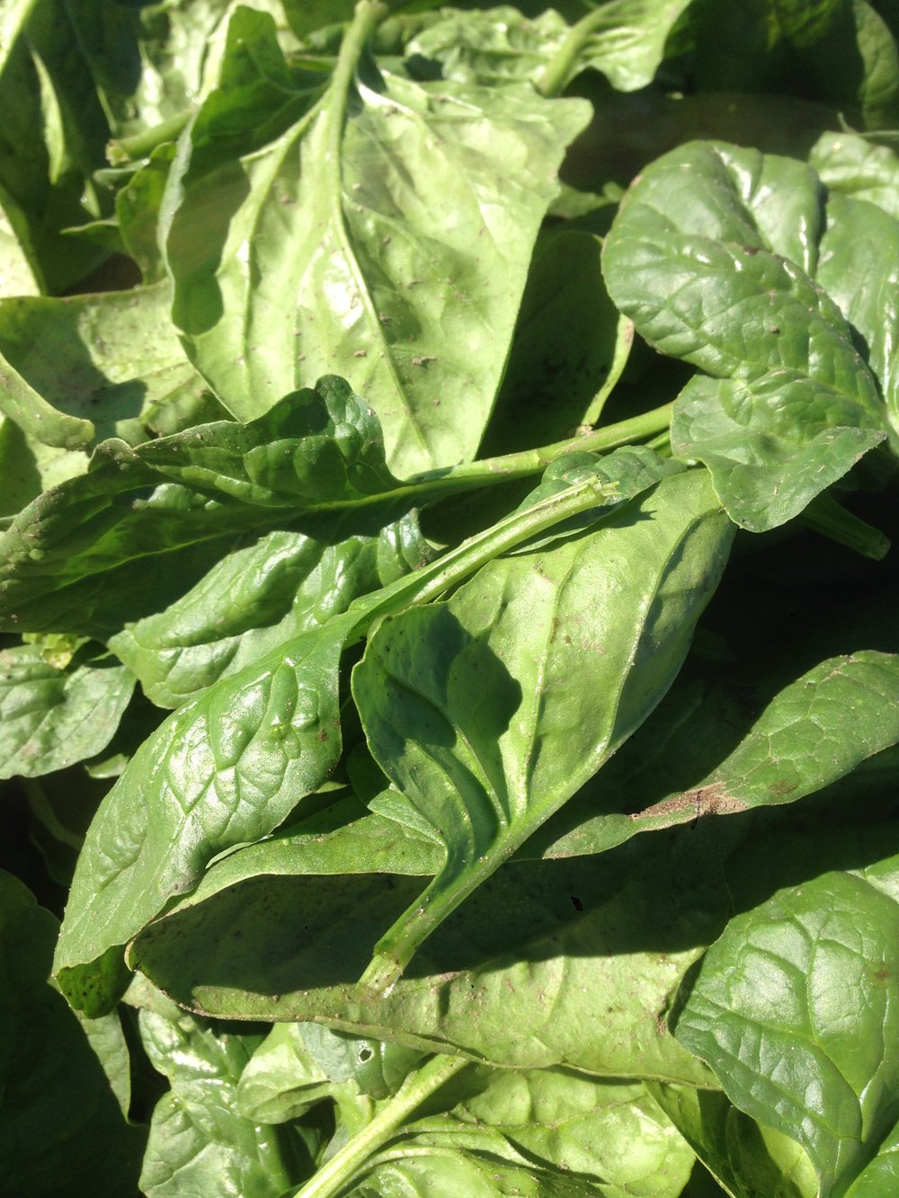 Spinach will be in the CSA and store this week.