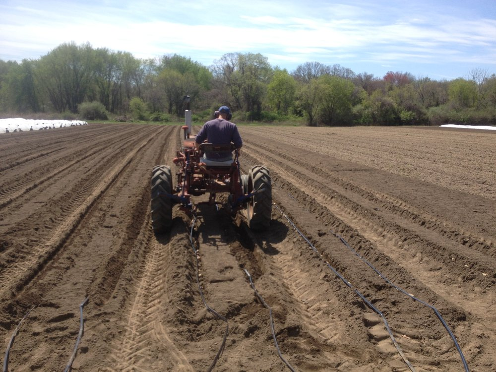 Shaun using the Farmall 140 hilling discs to cover our potatoes (and drip irrigation).