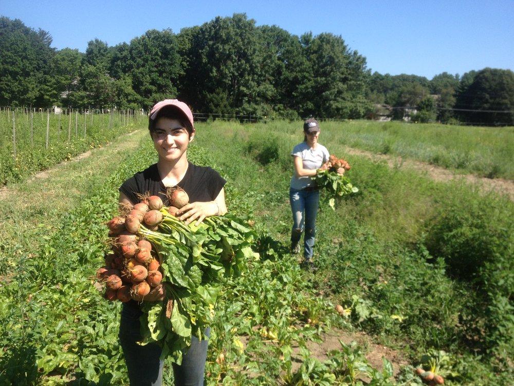 Miranda and Erica harvest golden beets.