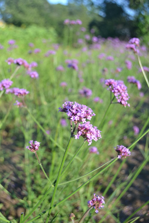 Verbena in the PYO Flower field.