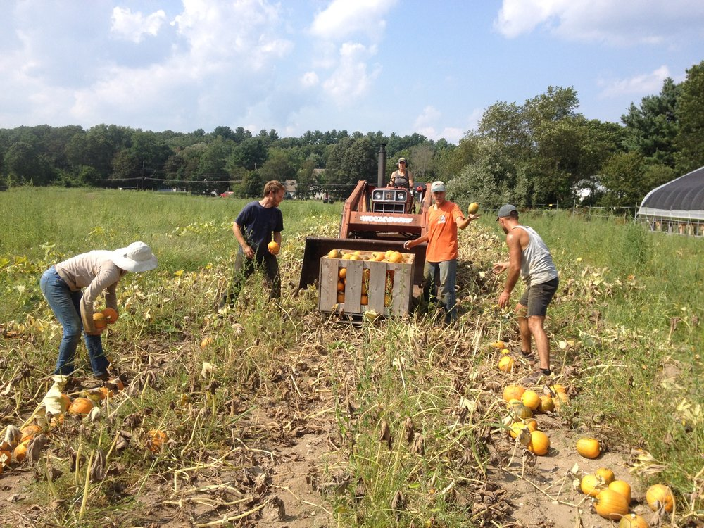 Rebecca, Dave T., Dave P., and Shaun bringing in the pie pumpkin harvest.