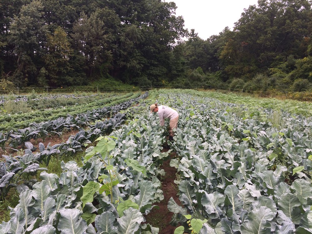 Lise checks out the broccoli field.