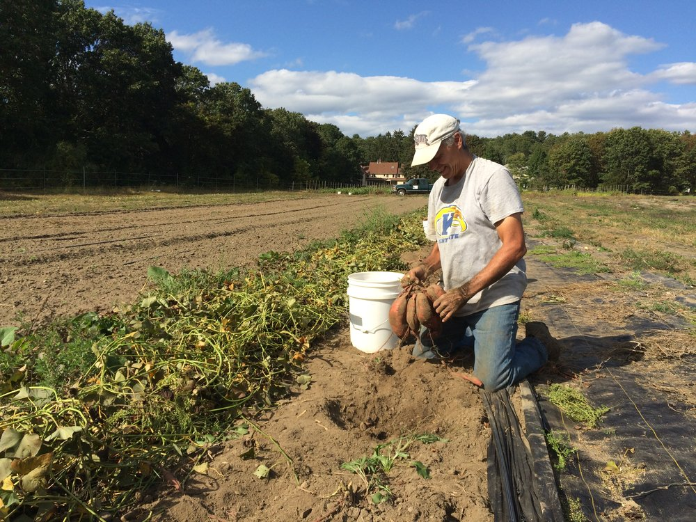 Revisiting Dave's season highlight- the sweet potato harvest! Sweet potatoes will be in the store and Late Fall CSA this week.
