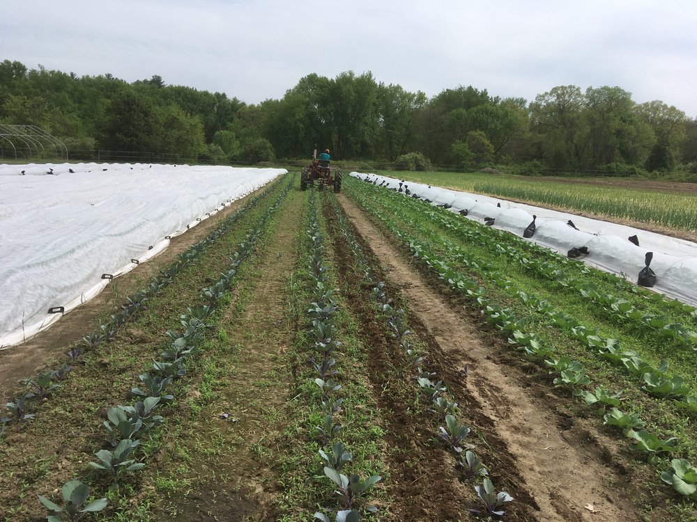One of the many things that kept us busy last week: taking row cover off of our spring cabbage to get some cultivating done!