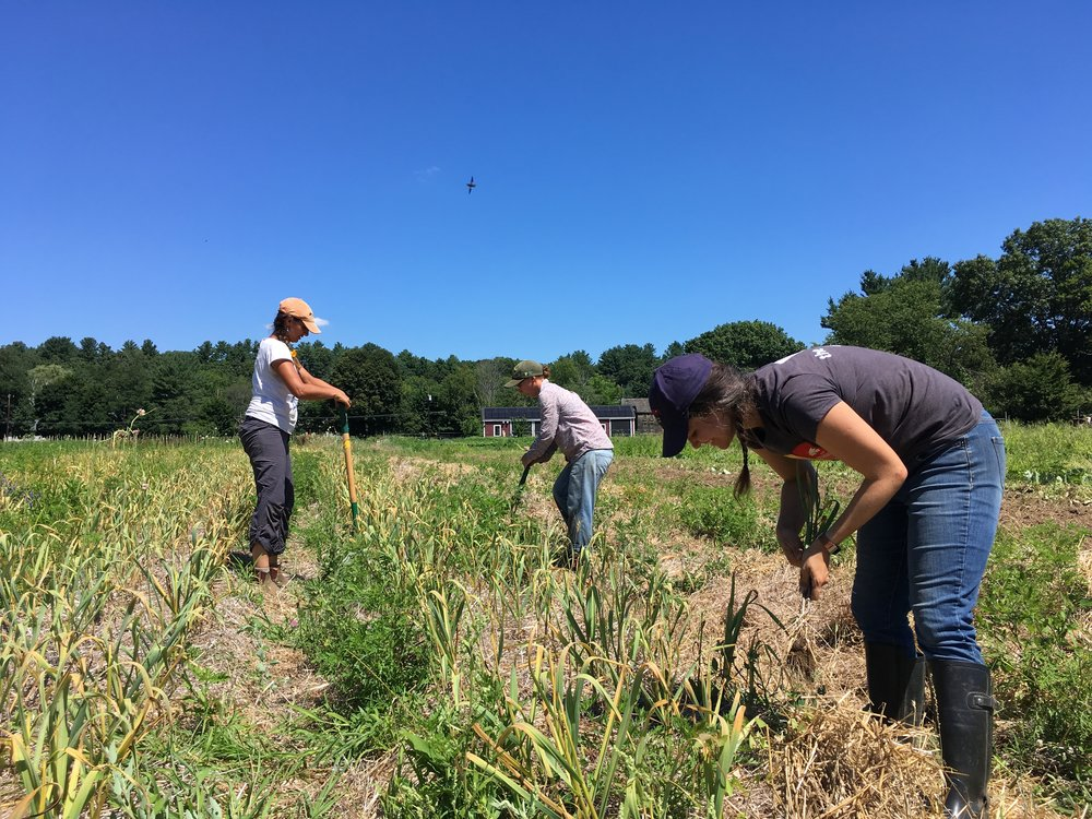 Long-time volunteer Katie helps us out with the garlic harvest last Friday. It was her last day on the farm, as she is about to move back to Minnesota. We will miss her! Thanks Katie for all your help the past 3 seasons!