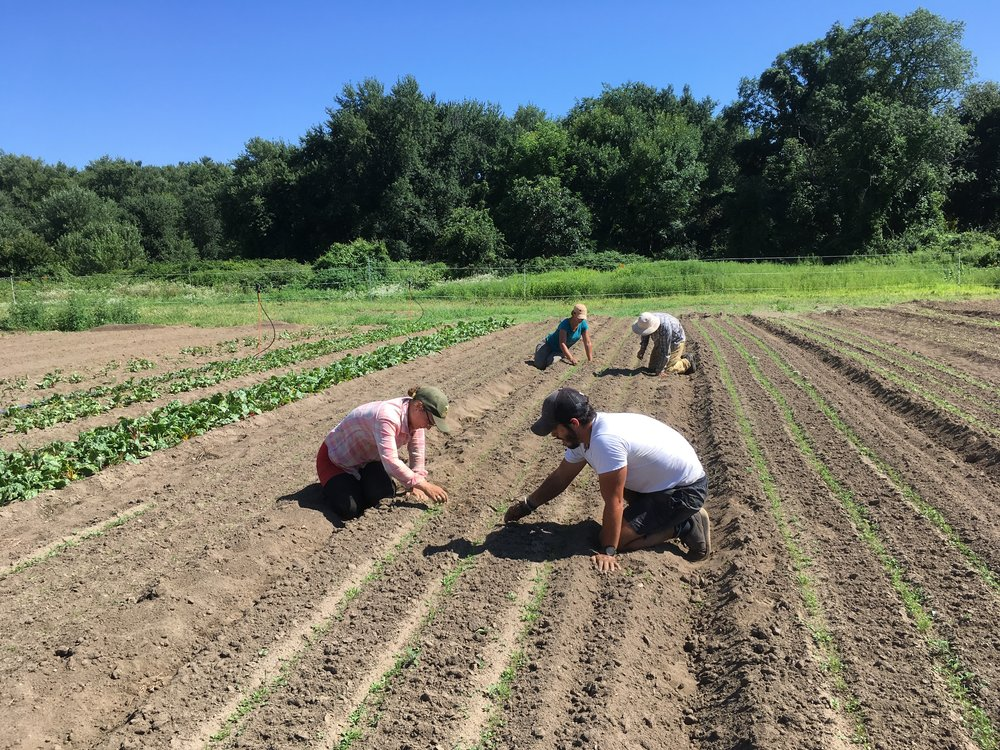 Kathrine, Jacob, Janel and Zach weeding and thinning carrots for the late fall harvest.