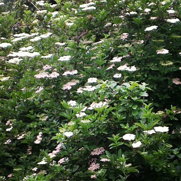 The wait for elderflowers is over