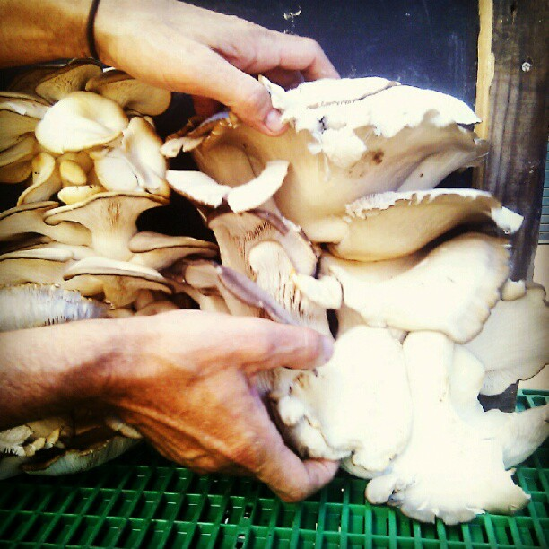 The dude at Brambletye Farm in Sussex grew these whopping great oyster mushrooms which sadly got mites. (Taken with  Instagram )