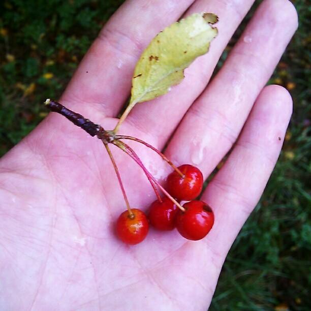 Tiny wild crabapples