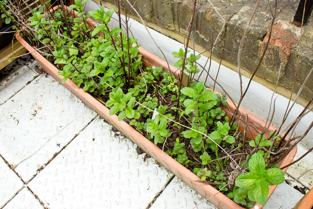 Last year I planted 10 kinds of mint in this planter (Garden, Moroccan, Tashkent, Ginger, Chocolate, Basil, Lime, Apple, Spearmint, and Pennyroyal). Since then, they have gone through attacks of  mint rust  and a horrible cold winter, but the survivors have dispersed their seeds and fraternised with their neighbours, creating a messy new growth of varieties that must be smelled to be identified. Some have disappeared entirely, others have flourished. I have identified small amounts of the chocolate, large amounts of the lime and spearmint, but have yet to locate the others.