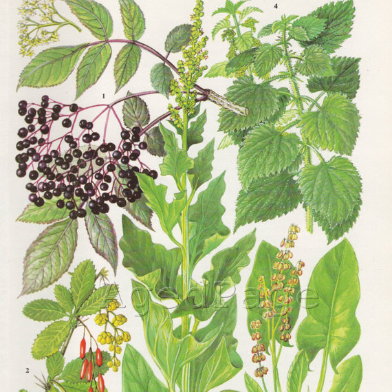 Vintage Elderberry Print