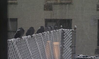 Crazy pigeons on the fence at work just chilling, getting snowed on.