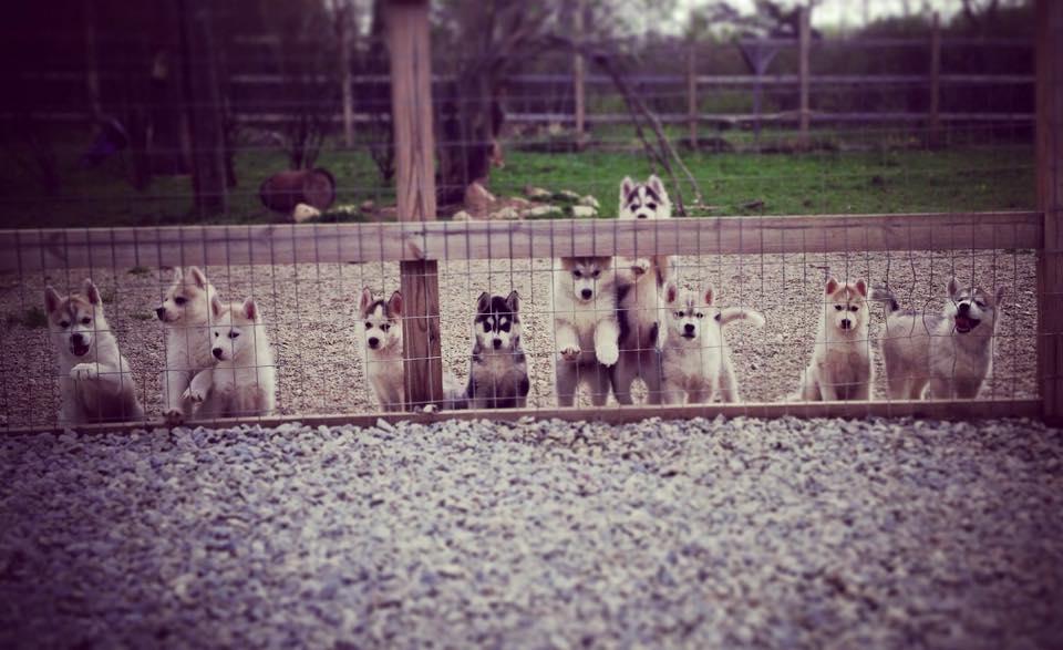 10 little puppies ...