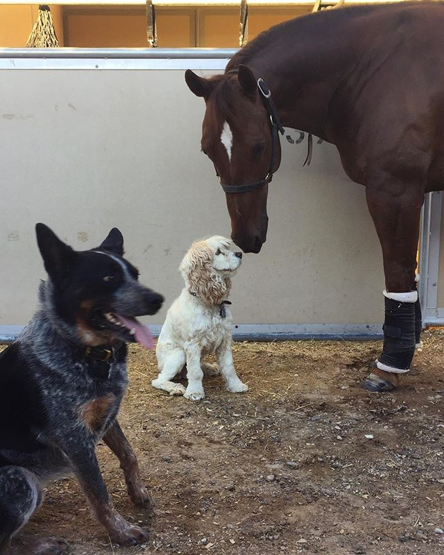 if there was an award for most motley crew at the horse show, i think we'd win it. the stock dog that's terrified of large animals is the kicker. #dirkandjakearedogs #forrestisahorse