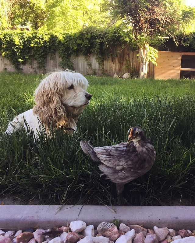 pullet patrol with the simultaneously best and worst bird dog ever born.