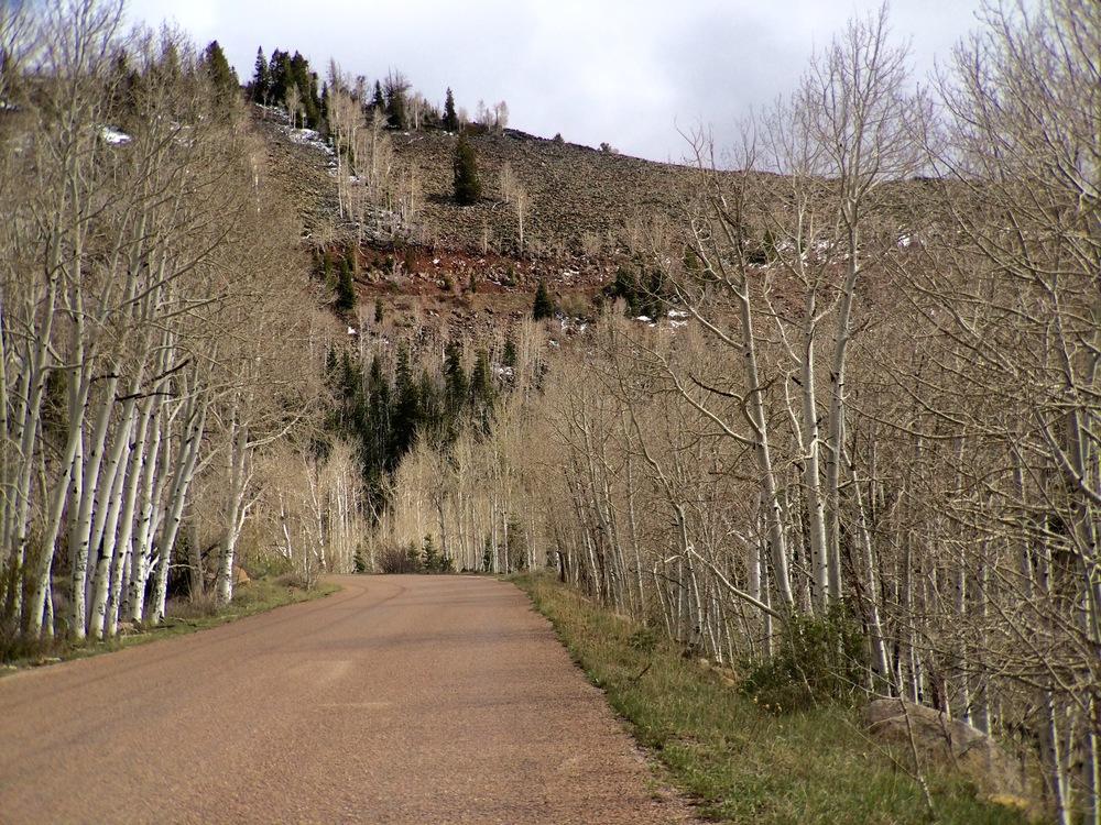 Aspen trees on the mountain above Cedar City, Utah