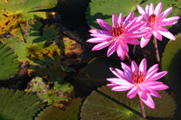 lilies2.jpg