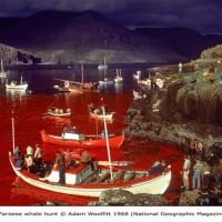 Faroese Whale Hunt, Adam Woolfitt
