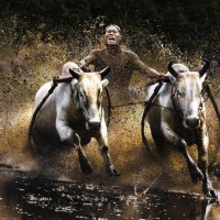 Action-Open-Winner,-Chan-Kwok-Hung,-Buffalo-Race