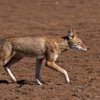 ethiopian-wolf-1