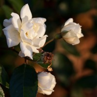A lovely Golden Hour Winter Rose, taken by our very own Daniela