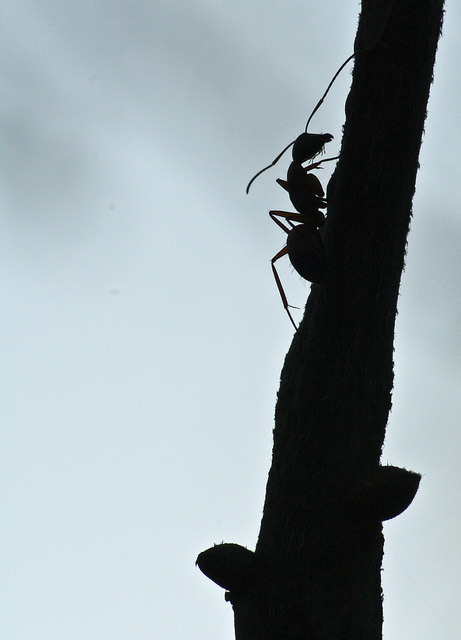 Ant on a twig