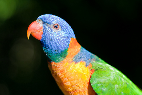 Red collared lorikeet