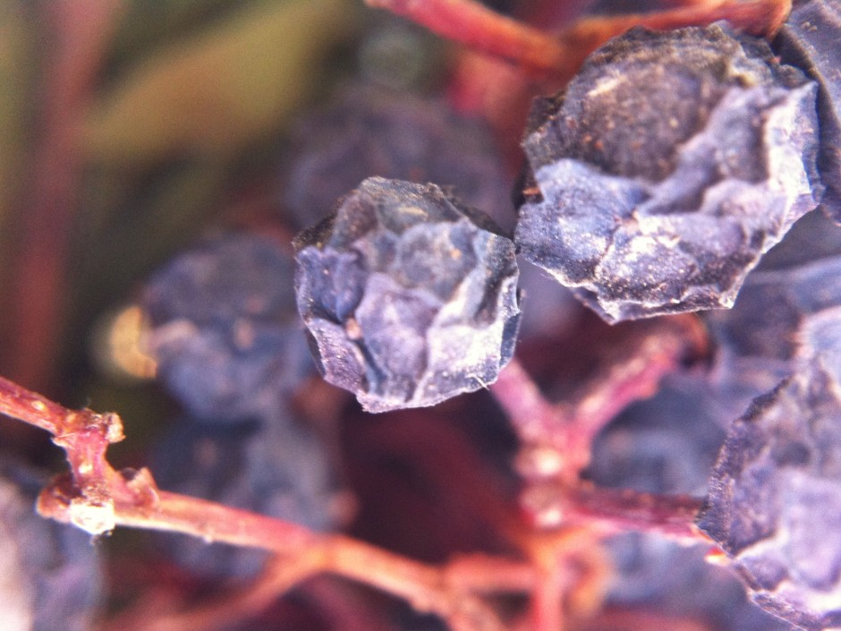 Dried berries up close