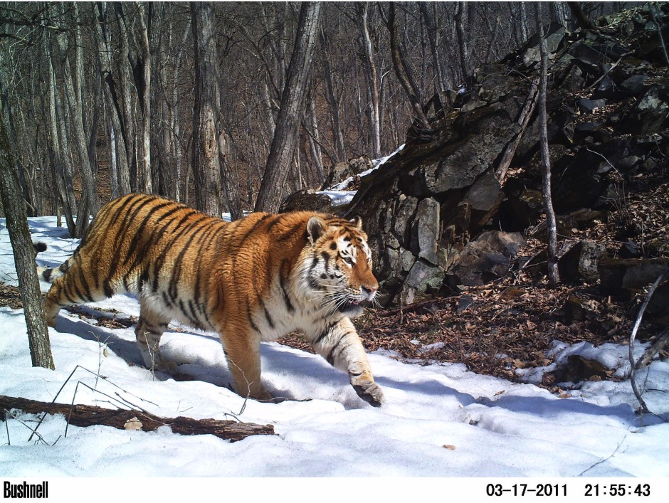 Winner of the 2013 Animal Portraits category: Linda Kerley/Amur Tiger Conservation in Lazovskii Zapovednik and Adjacent Areas – ZSL, Russian Far East
