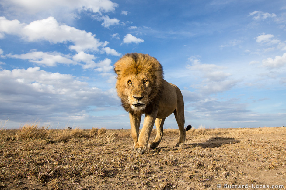 Lion, Serengeti National Park, Tanzania, 2013