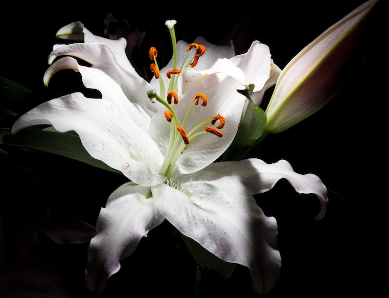A lily emerging from the darkness