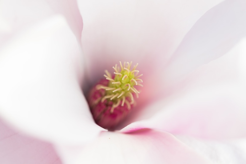 Down into the heart of a magnolia flower. How often do you see that?