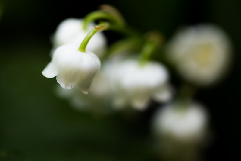 A lily-of-the-valley, shot early in the morning, using a 100mm macro lens, a tripod, and a Triggertrap remote release, with my camera on live view
