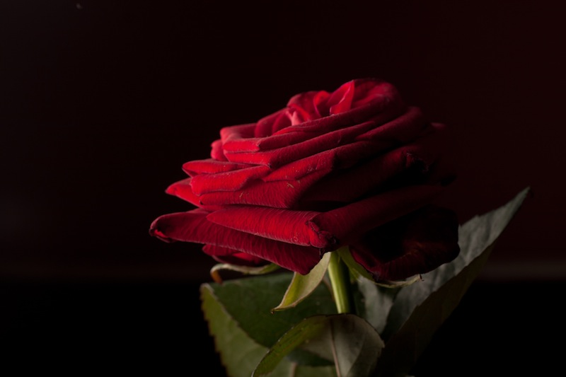 Side-lighting highlights the rose's gorgeous velvety texture