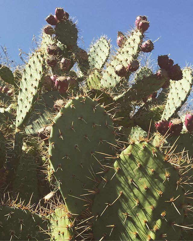 Living my best desert life 🌵 #pricklypear #nature #cautionmaybite