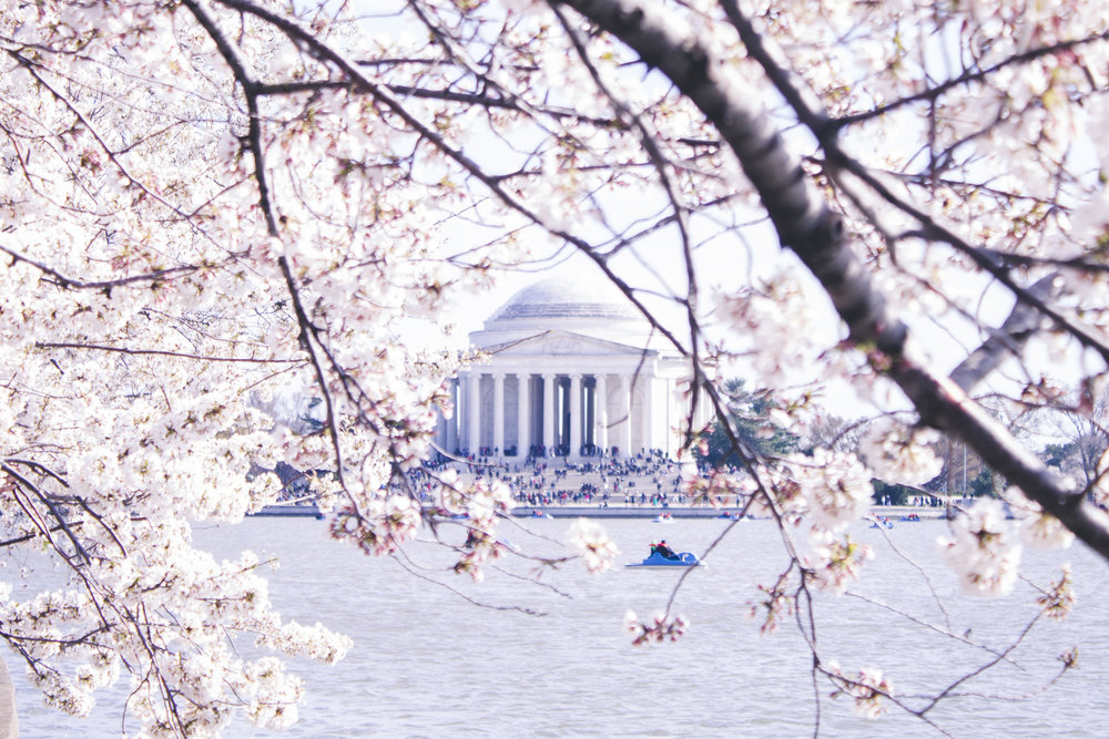 The Jefferson Memorial framed by DC's cherry blossoms