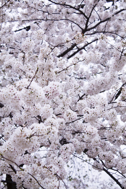 Cherry blossoms at DC's Tidal Basin