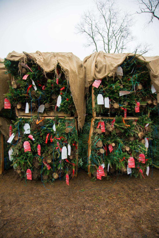 O Fraser Fir: North Carolina\'s Christmas Tree — Bit & Grain
