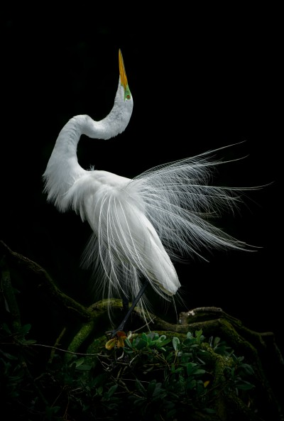 A great egret in full breeding plumage performs his courtship display to attract a mate. Photo: Jared Lloyd