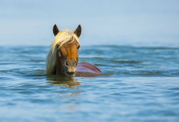 HORSES HAVE PROBABLY BEEN AN OFF-AND-ON FEATURE OF THE RACHEL CARSON RESERVE FOR MORE THAN 300 YEARS. PHOTO: JARED LLOYD