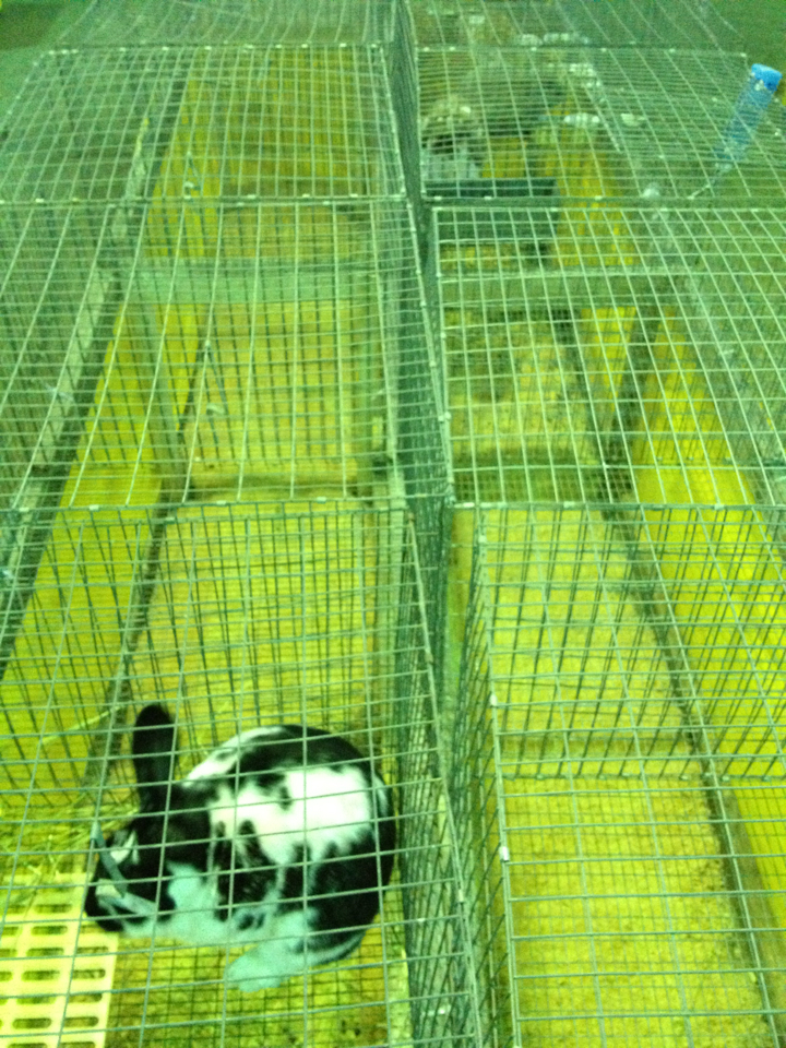 Rabbit in a cage, Latah County Fair.