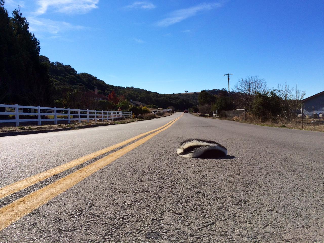 Dead skunk, Arroyo Grande, CA.