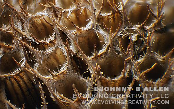 Subject: Dead Bergamot Flower Pod. | Technique: Reflected Light/Image Stacking