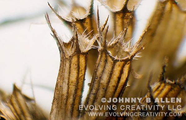 Subject: Dead Bergamot Flower Pod. | Technique:Reflected Light/Image Stacking