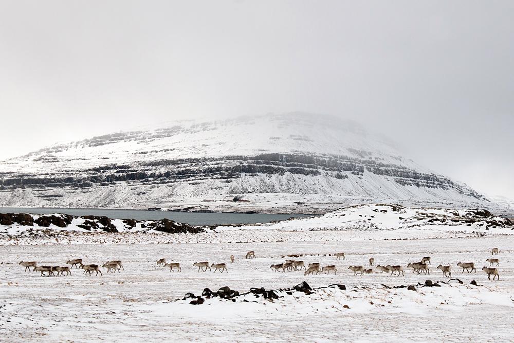 Icelandic Reindeer