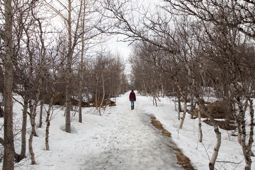 Höfði birch forest