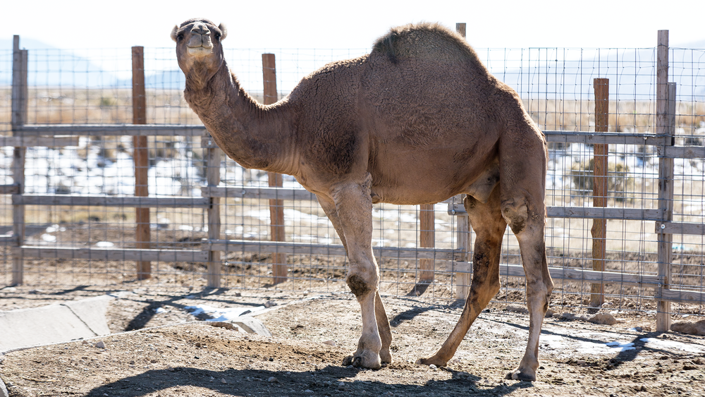 01_Camel.png