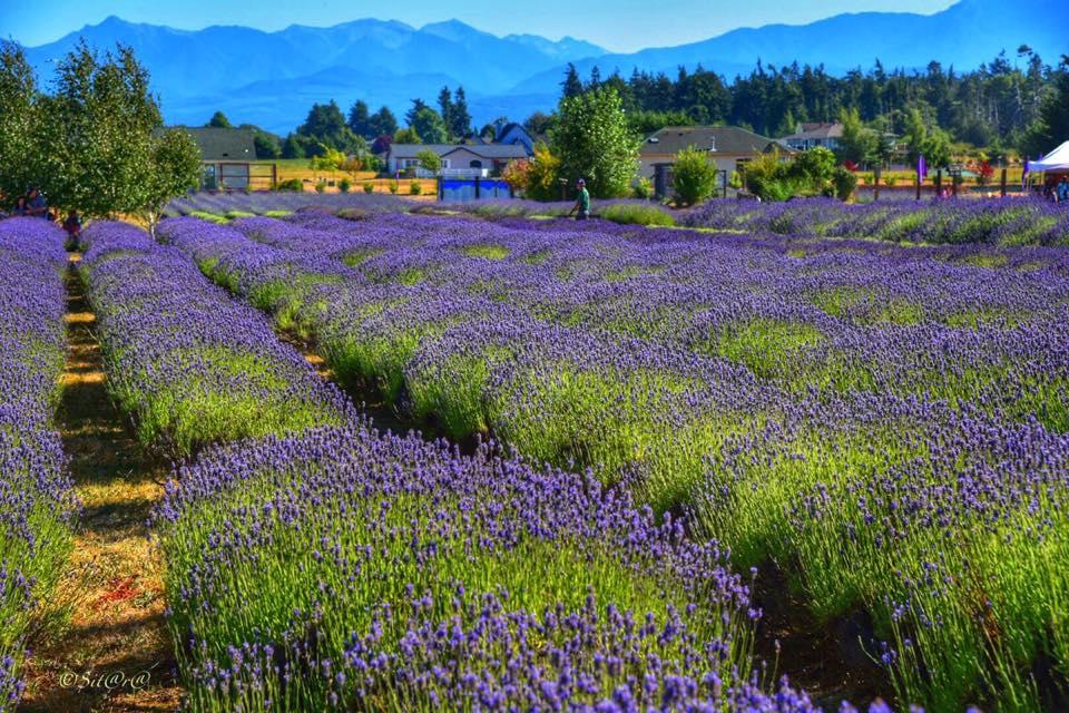 olympic-lavender.jpg