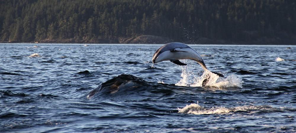 Dolphin, Telegraph cove, Canada, Jakub Kanok.JPG